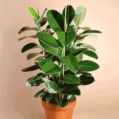 Evde Küfü Önleyen Toksinleri Temizleyen Bitkiler 1