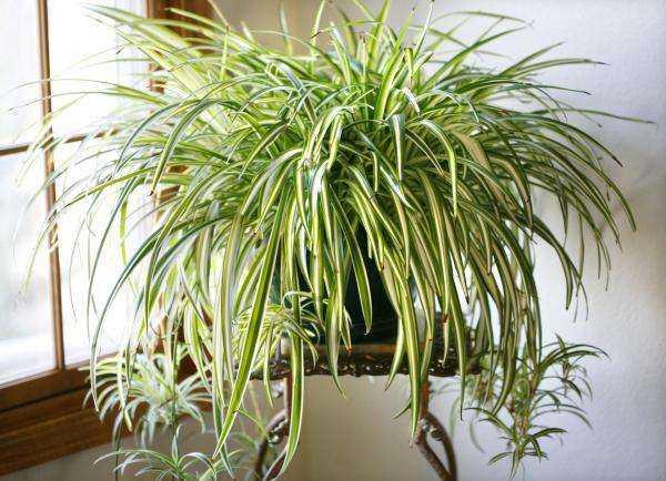 Evde Küfü Önleyen Toksinleri Temizleyen Bitkiler 3