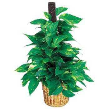 Evde Küfü Önleyen Toksinleri Temizleyen Bitkiler 9