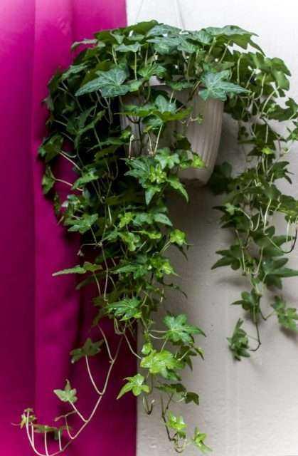 Evin Havasını Temizleyen ve Kimyasallardan Arındıran Bitkiler 25