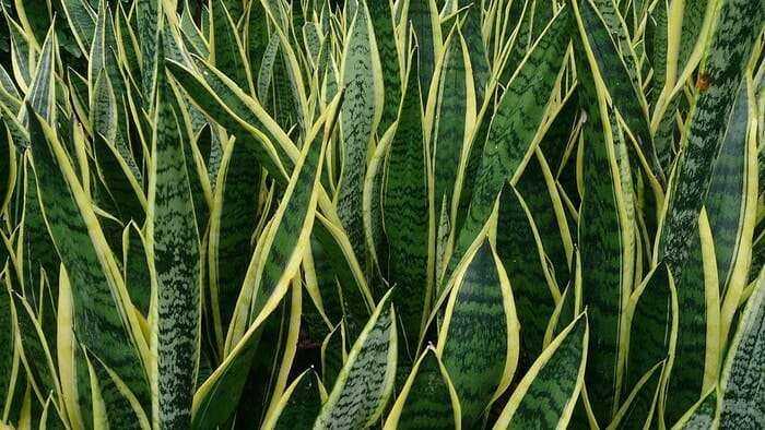 Evin Havasını Temizleyen ve Kimyasallardan Arındıran Bitkiler 27