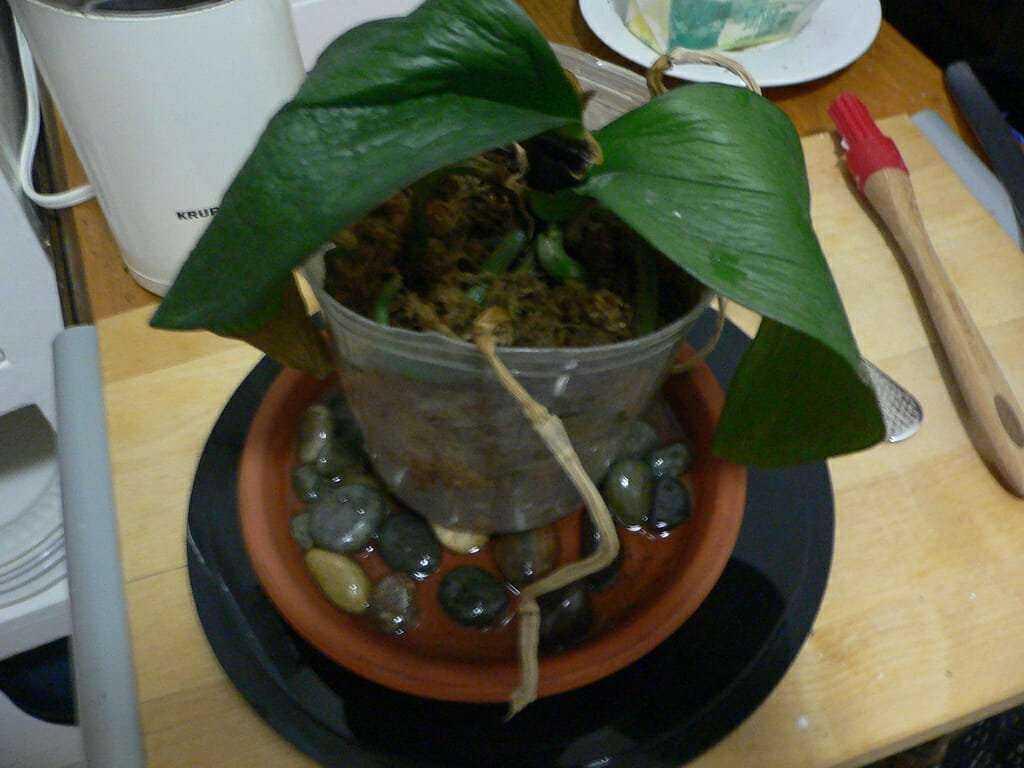 Bu Yöntemi Deneyerek İki Haftada Orkidenizin Çiçek Açmasını Sağlayın 1