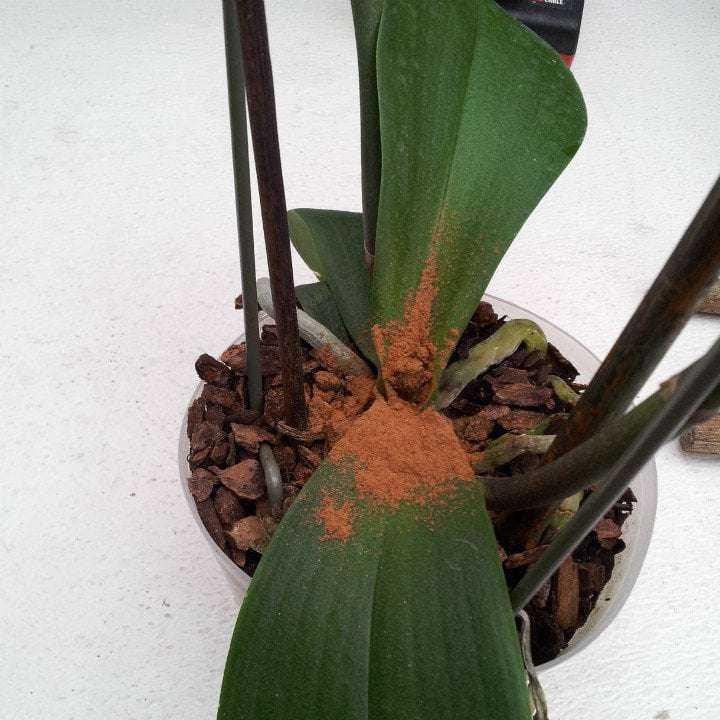 Solan Bitkilerinizi Yeniden Canlandıracak Tarçınlı Karışım 5