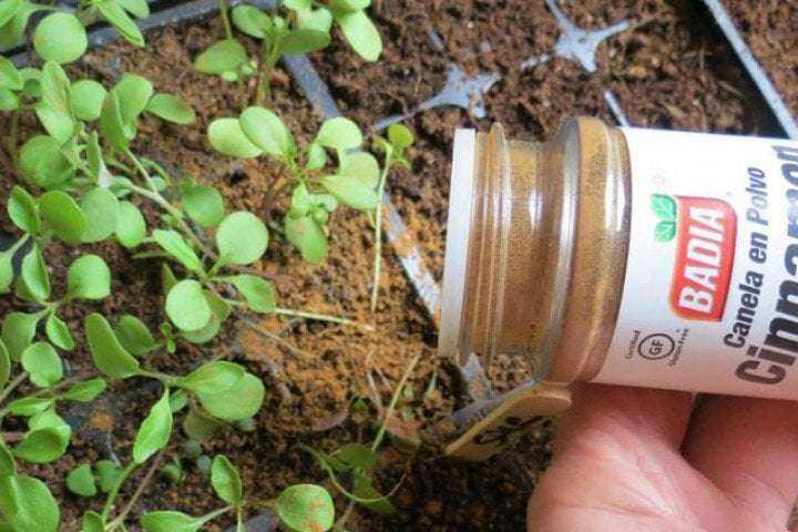 Solan Bitkilerinizi Yeniden Canlandıracak Tarçınlı Karışım 3