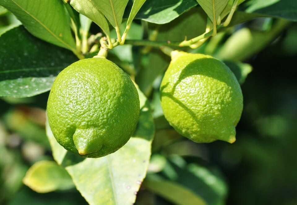 İhtiyacınız Olan Tek 1 Çekirdek, Evinizde Kolaylıkla Limon Yetiştirebilirsiniz 1