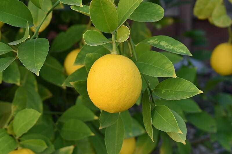 İhtiyacınız Olan Tek 1 Çekirdek, Evinizde Kolaylıkla Limon Yetiştirebilirsiniz 7