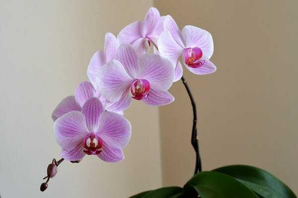 Solmuş Orkideyi Yeniden Canlandırın 3